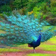 paun albastru